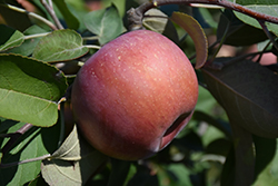 SnowSweet® Apple (Malus 'Wildung') at Bloomers Garden Center & Landscaping