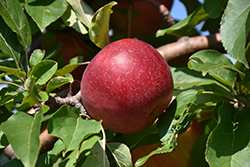 Haralred Apple (Malus 'Haralred') at Bloomers Garden Center & Landscaping
