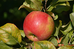 Red Duchess Apple (Malus 'Red Duchess') at Bloomers Garden Center & Landscaping